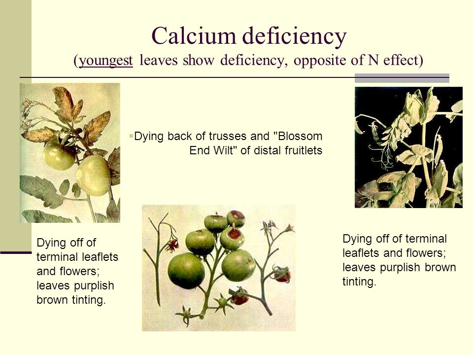 Calcium deficiency (youngest leaves show deficiency, opposite of N effect)
