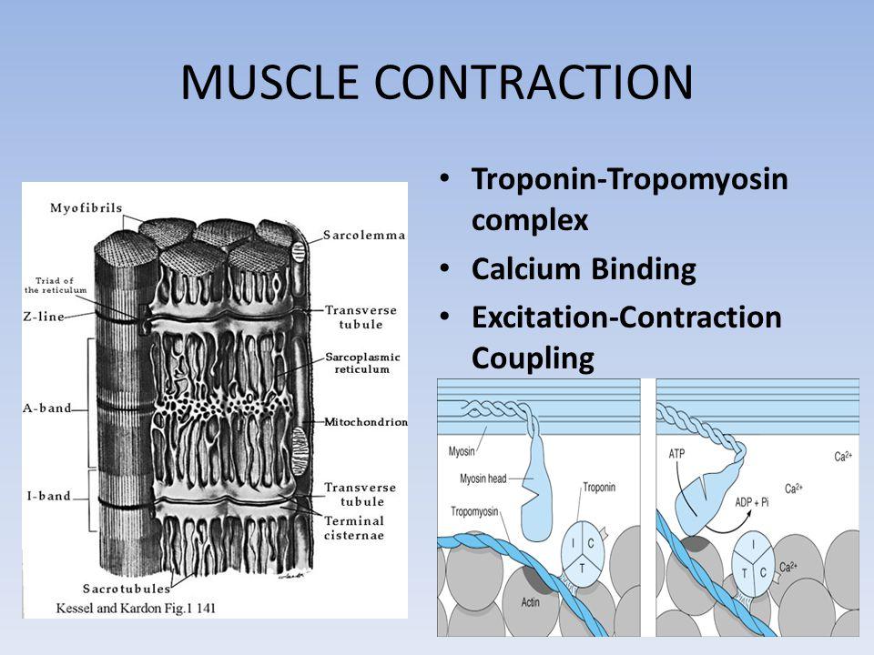 MUSCLE CONTRACTION Troponin-Tropomyosin complex Calcium Binding