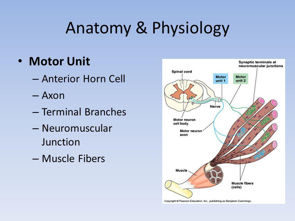Anatomy & Physiology Motor Unit Anterior Horn Cell Axon