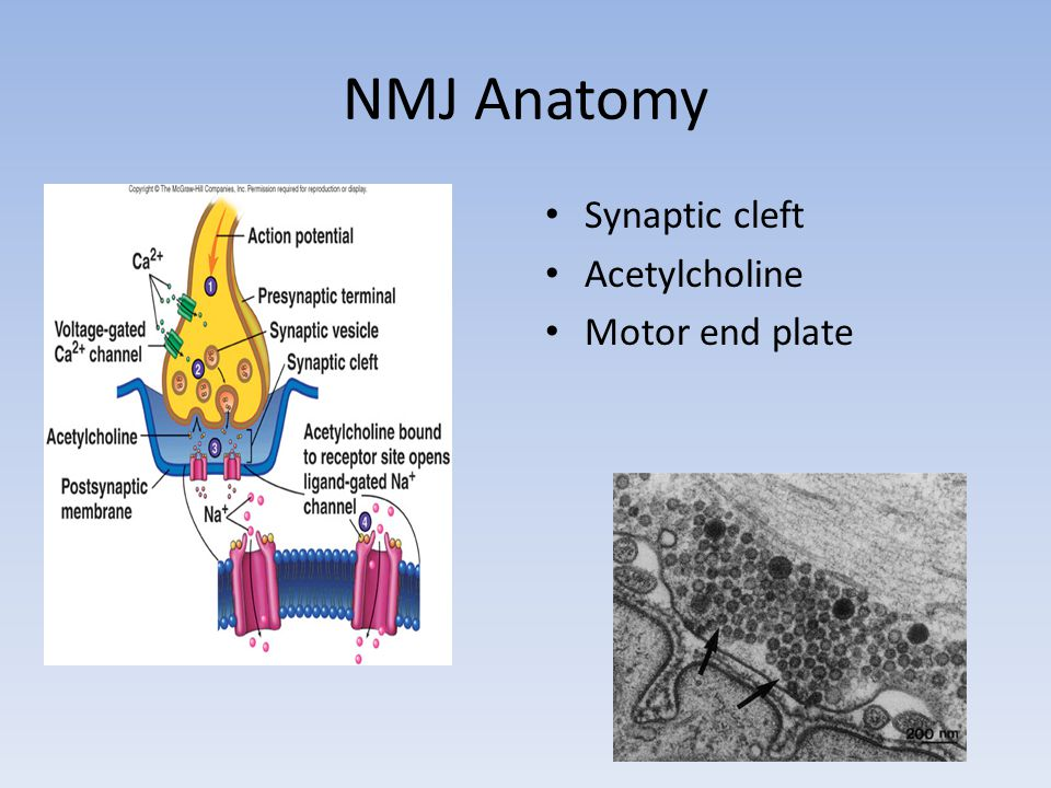 NMJ Anatomy Synaptic cleft Acetylcholine Motor end plate