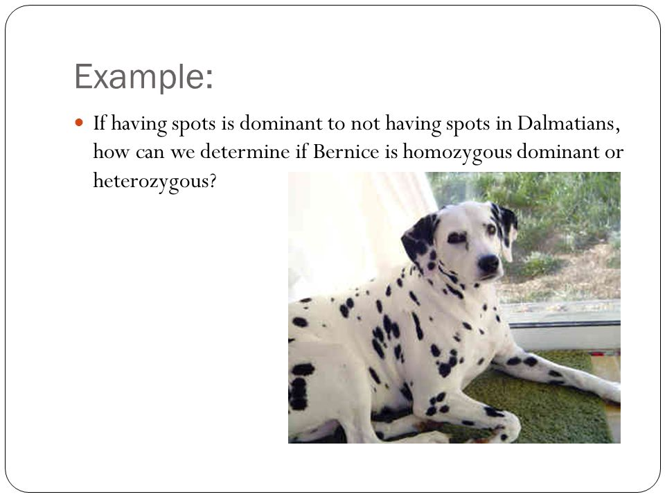 Example: If having spots is dominant to not having spots in Dalmatians, how can we determine if Bernice is homozygous dominant or heterozygous