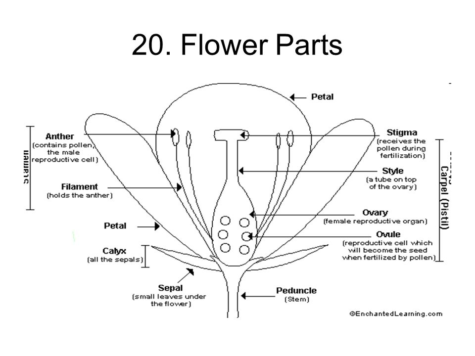 20. Flower Parts