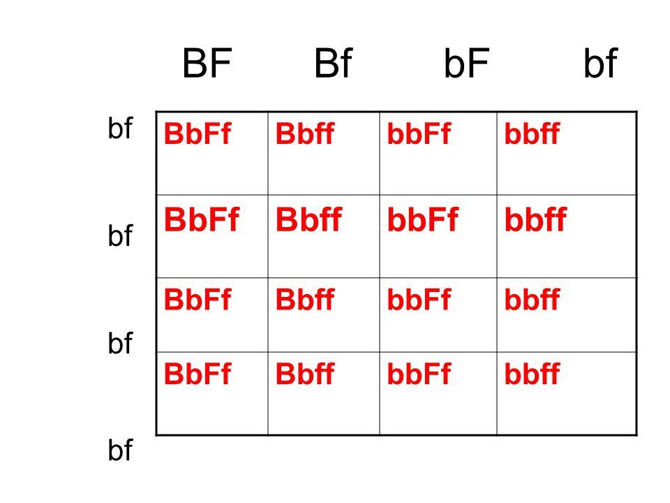 BF Bf bF bf bf BbFf Bbff bbFf bbff