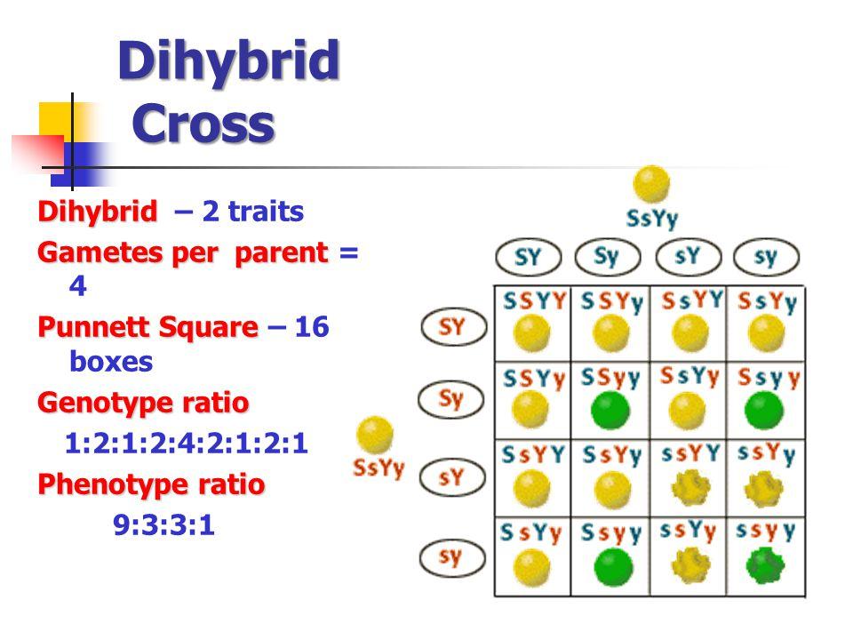 Dihybrid Cross Dihybrid – 2 traits Gametes per parent = 4