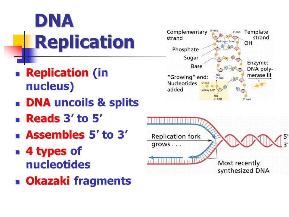 DNA Replication Replication (in nucleus) DNA uncoils & splits