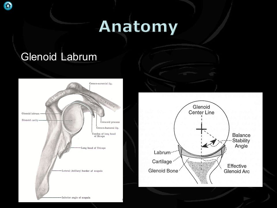 Anatomy Glenoid Labrum
