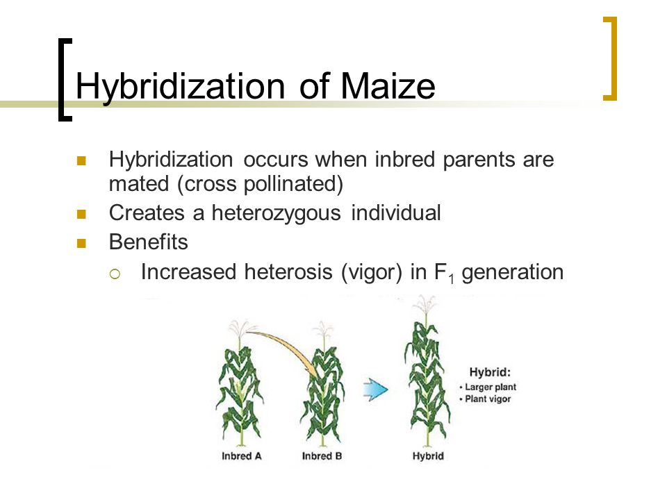 Hybridization of Maize