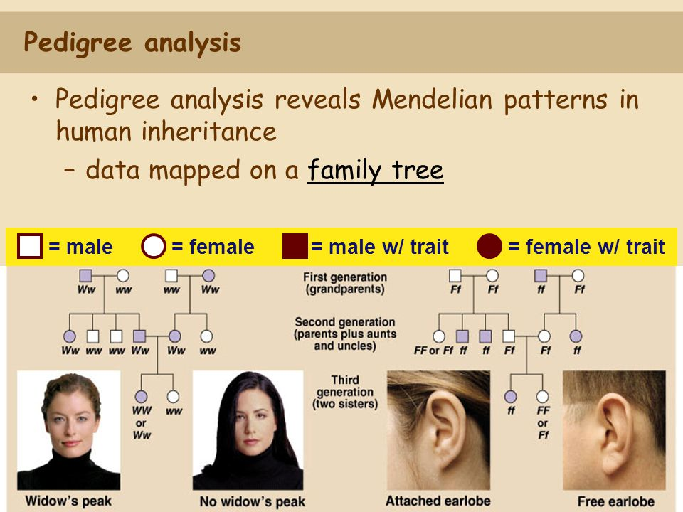 Pedigree analysis reveals Mendelian patterns in human inheritance