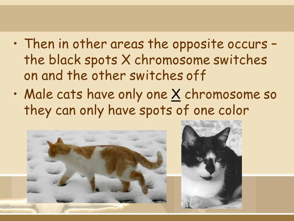 Then in other areas the opposite occurs – the black spots X chromosome switches on and the other switches off