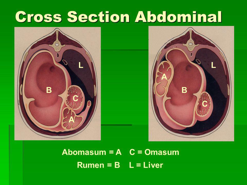 Cross Section Abdominal Cavity