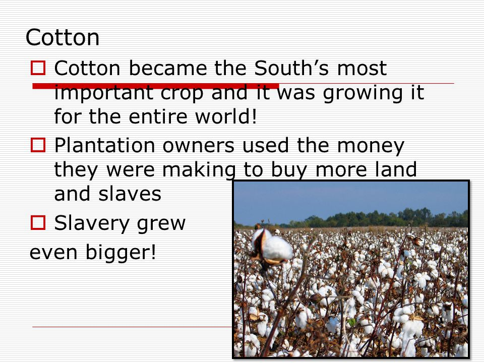 Cotton Cotton became the South's most important crop and it was growing it for the entire world!
