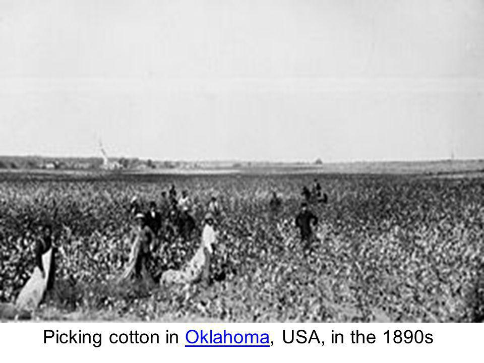 Picking cotton in Oklahoma, USA, in the 1890s