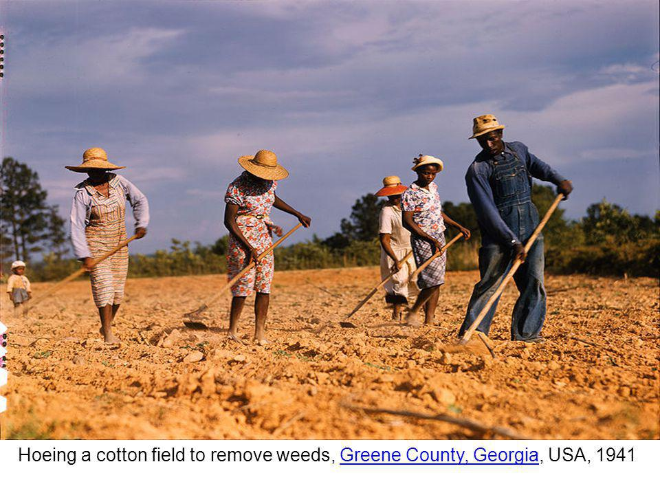 Hoeing a cotton field to remove weeds, Greene County, Georgia, USA, 1941