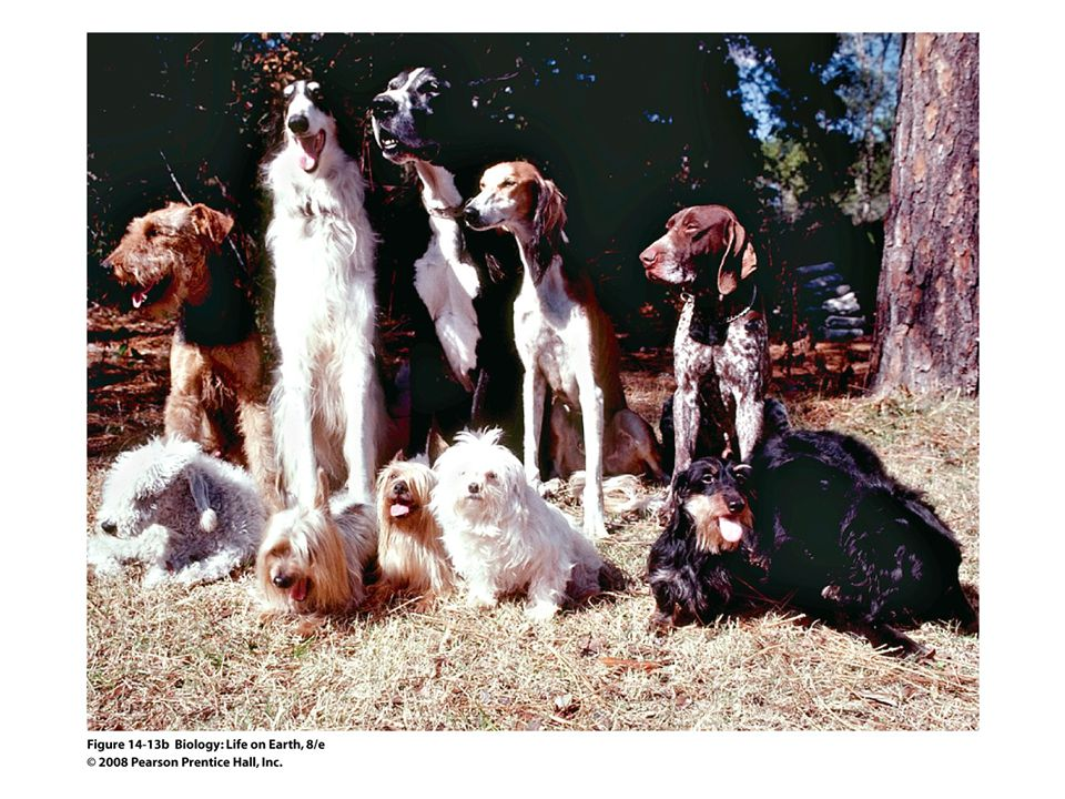 Figure 14-13b Dog diversity illustrates artificial selection