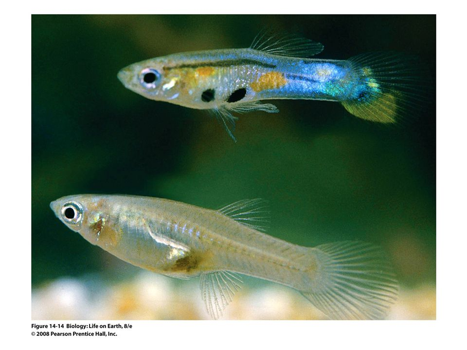 Figure 14-14 Guppies evolve to become more colorful in predator-free environments