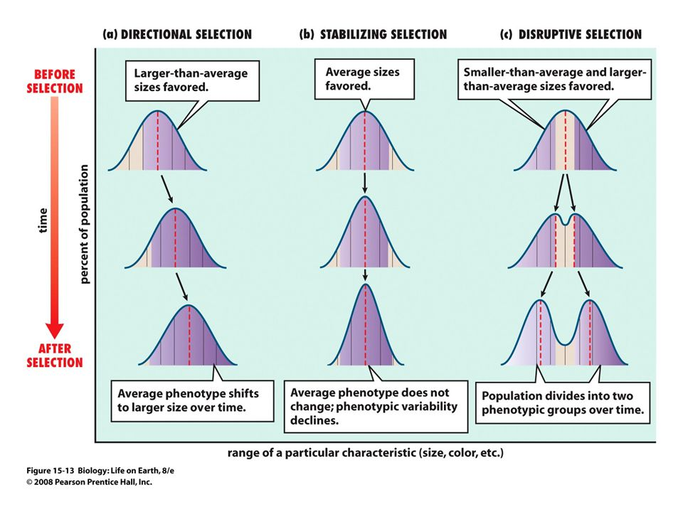 FIGURE 15-13 Three ways that selection affects a population over time
