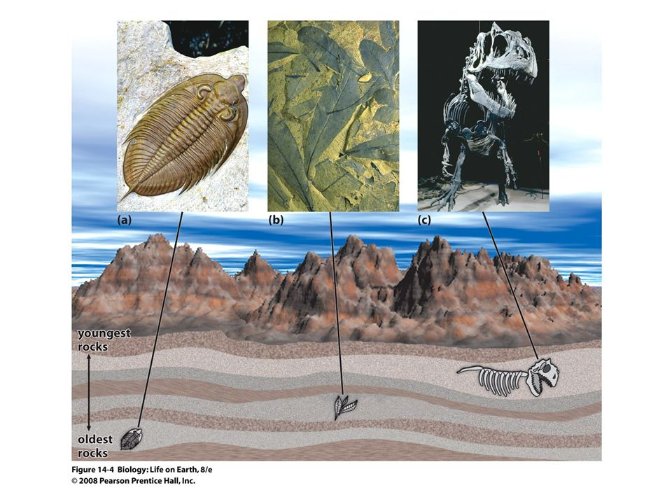 FIGURE 14-4 Fossils of extinct organisms
