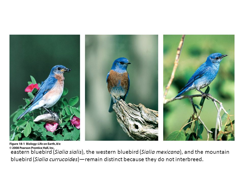 FIGURE 18-1 Three species of bluebird