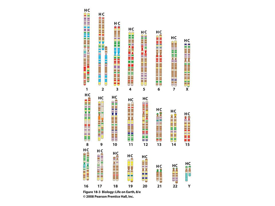 FIGURE 18-3 Human and chimp chromosomes are similar