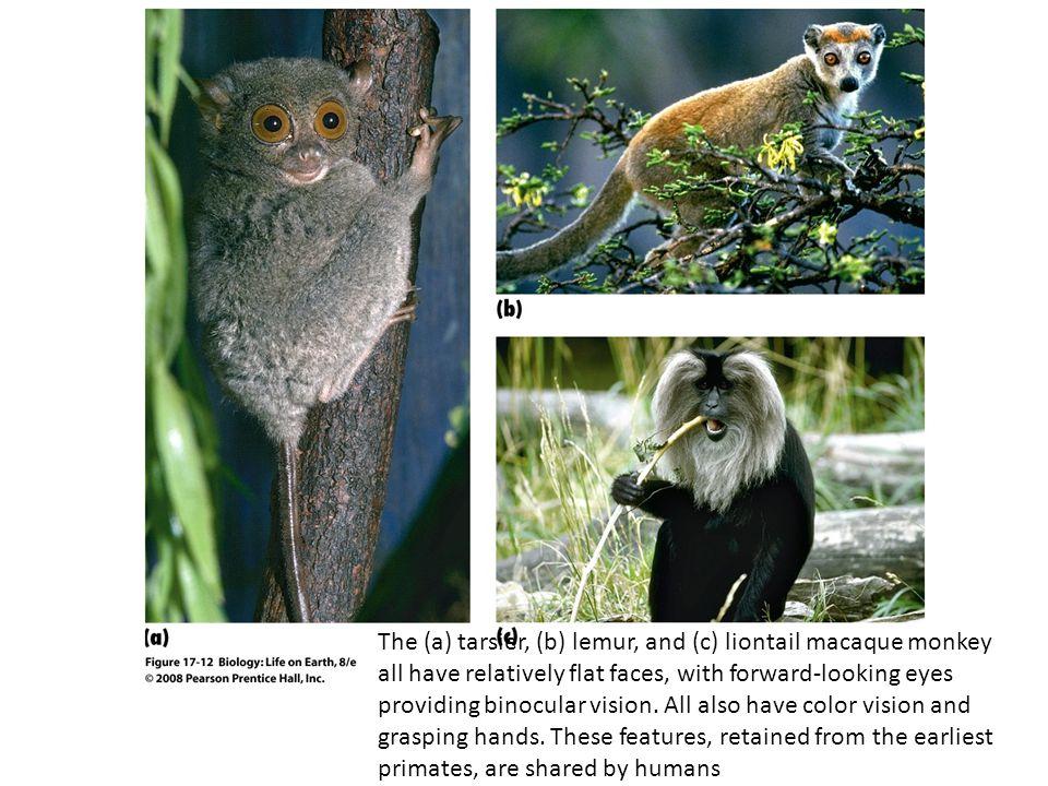 FIGURE 17-12 Representative primates