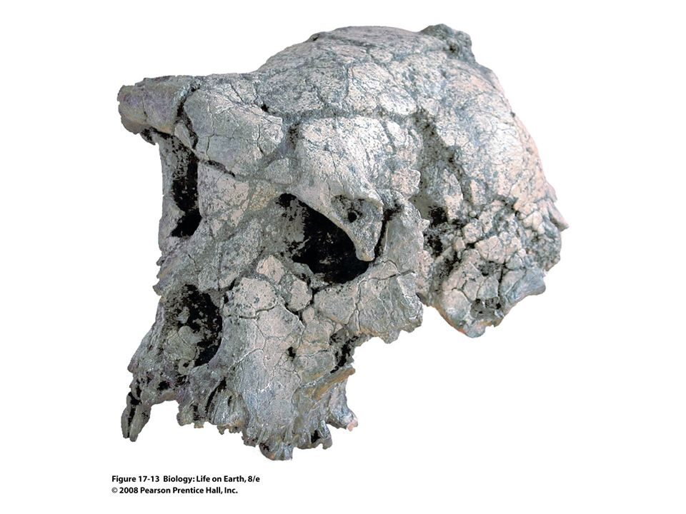FIGURE 17-13 The earliest hominidThis nearly complete skull of Sahelanthropus tchadensis, which is more than 6 million years old, is the oldest hominid fossil yet found.