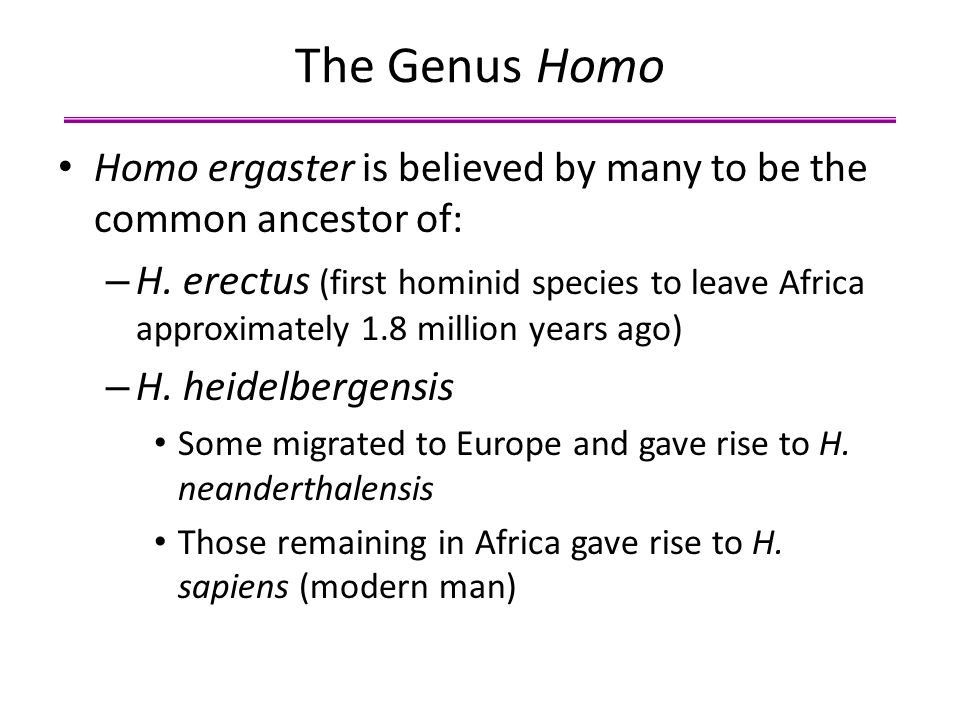 The Genus Homo Homo ergaster is believed by many to be the common ancestor of: