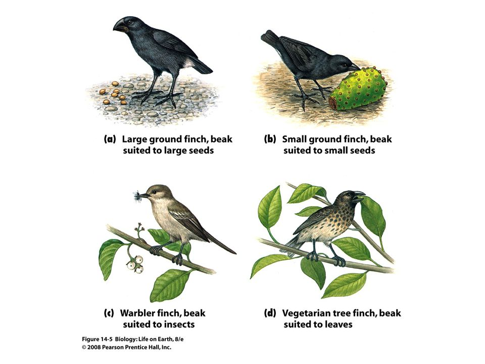 FIGURE 14-5 Darwin s finches, residents of the Galapagos Islands