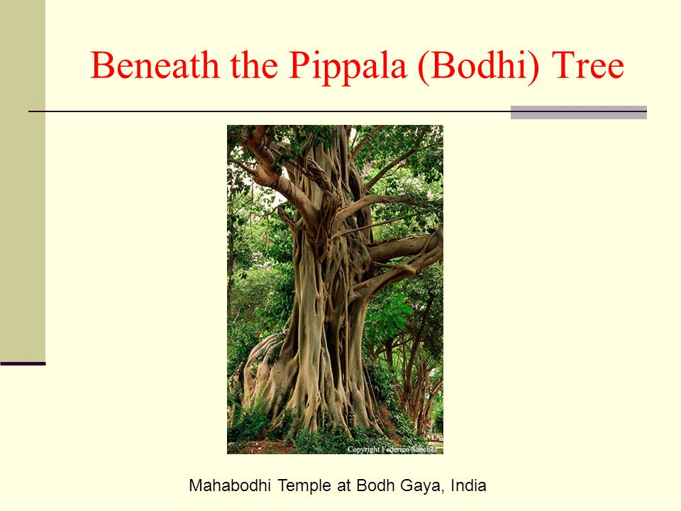 Beneath the Pippala (Bodhi) Tree
