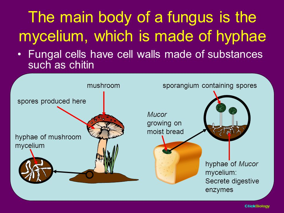 The main body of a fungus is the mycelium, which is made of hyphae