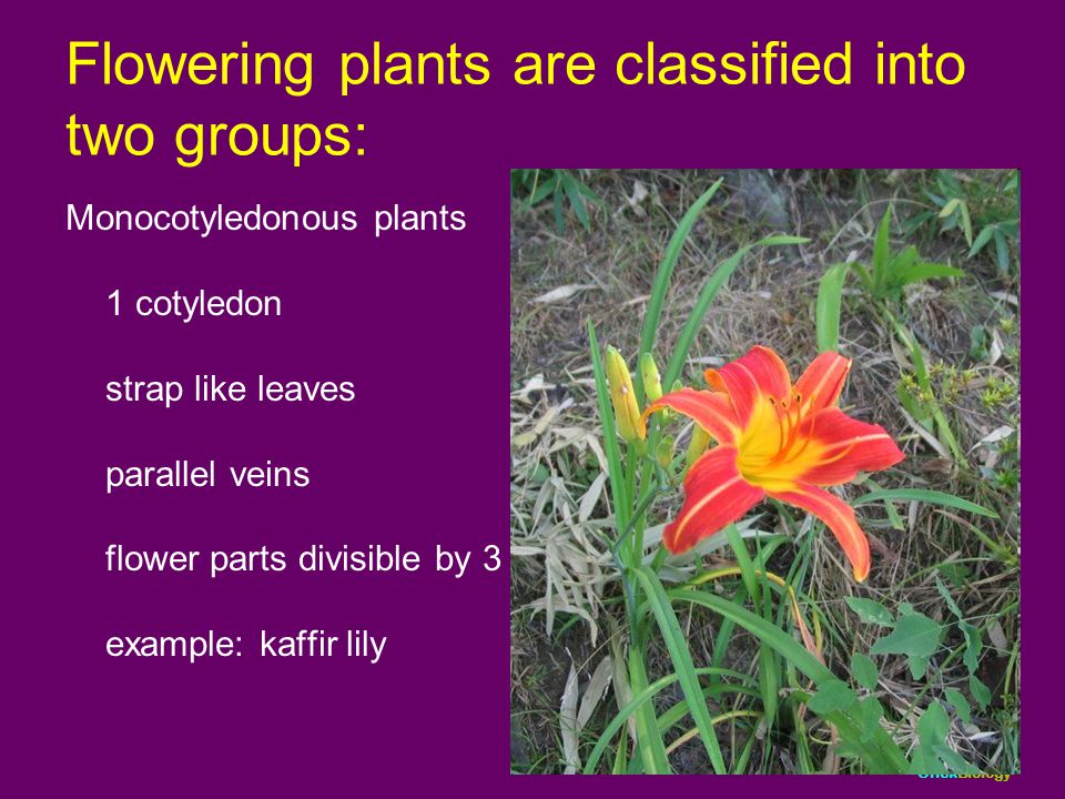 Flowering plants are classified into two groups: