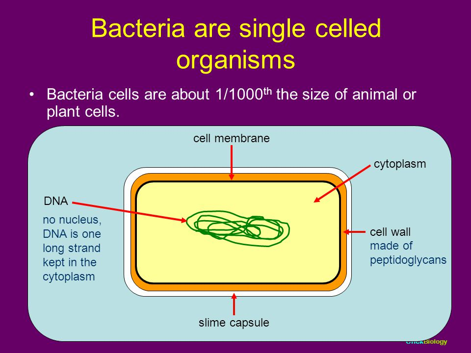 Bacteria are single celled organisms