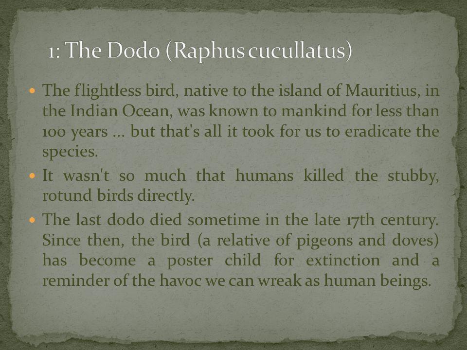 1: The Dodo (Raphus cucullatus)