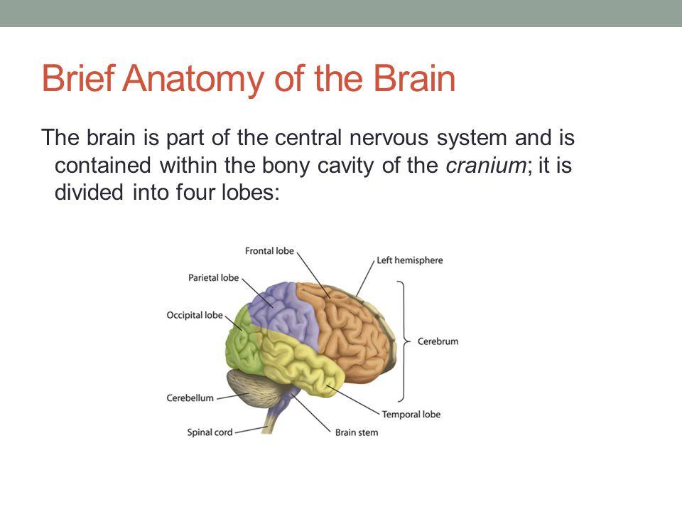 Brief Anatomy of the Brain