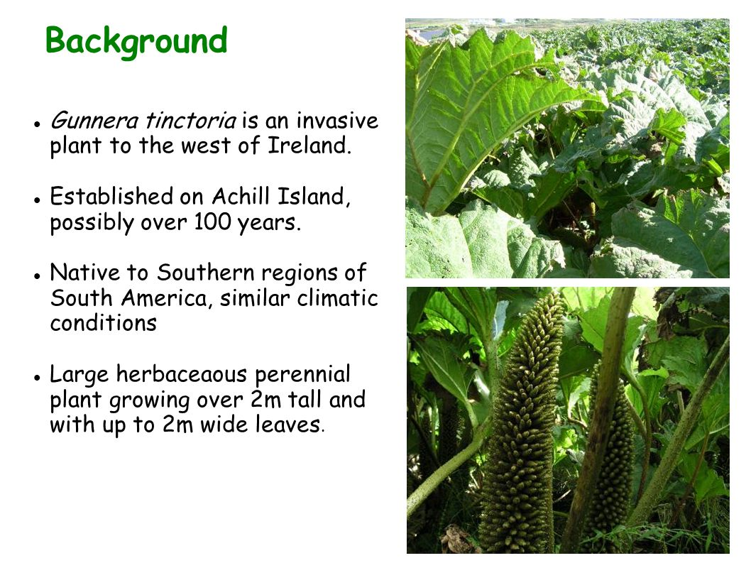 Background Gunnera tinctoria is an invasive plant to the west of Ireland. Established on Achill Island, possibly over 100 years.