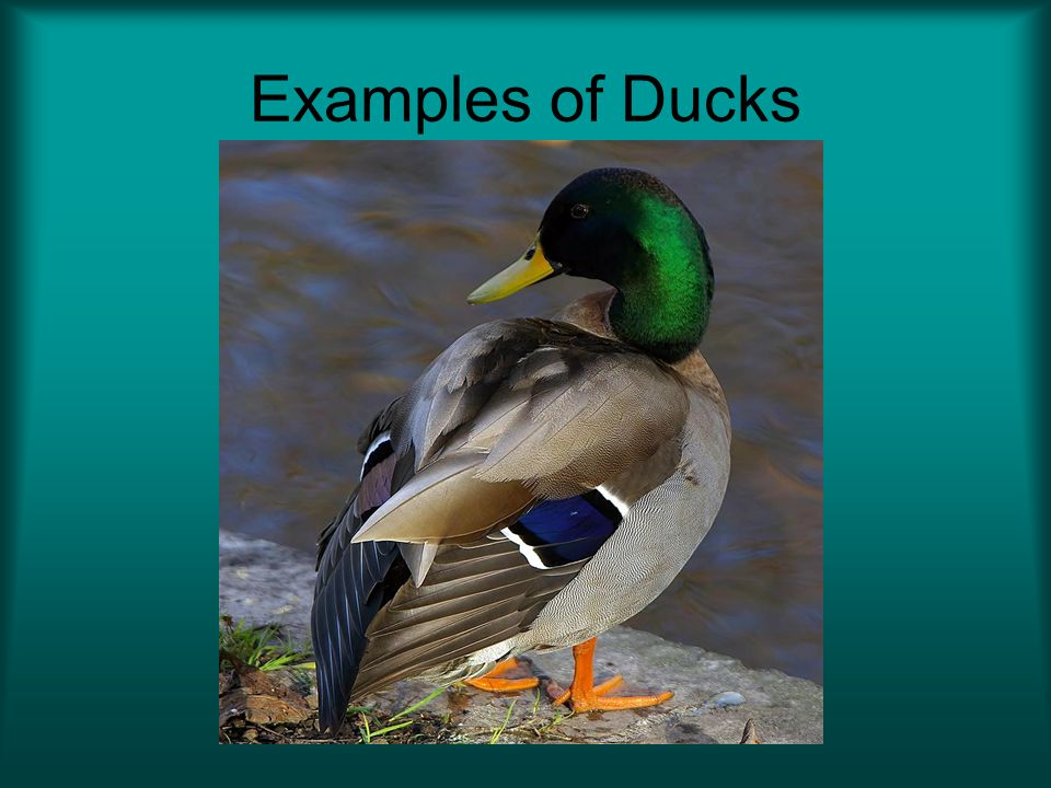 Examples of Ducks See if your students can recognize any of these species of waterfowl. Mallard