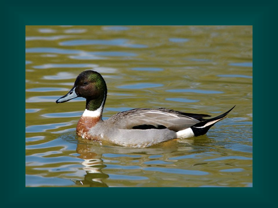 This is a hybrid—a mix between a mallard and a northern pintail