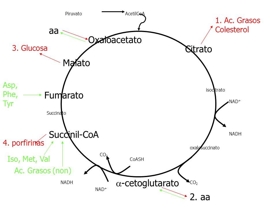 aa Oxaloacetato Citrato Malato Fumarato Succinil-CoA a-cetoglutarato