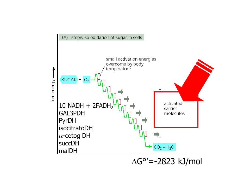 DG°'=-2823 kJ/mol 10 NADH + 2FADH2 GAL3PDH PyrDH isocitratoDH