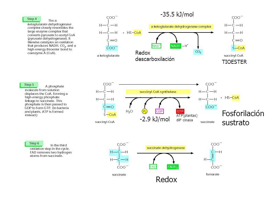 Fosforilación sustrato Redox -35.5 kJ/mol -2.9 kJ/mol Redox