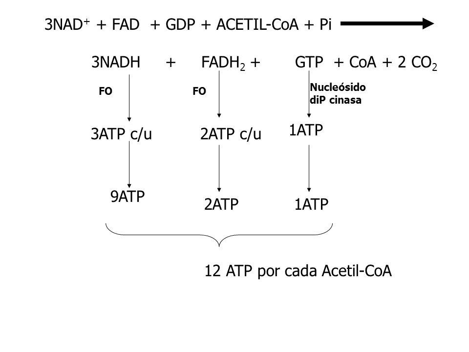 3NAD+ + FAD + GDP + ACETIL-CoA + Pi 3NADH + FADH2 + GTP + CoA + 2 CO2
