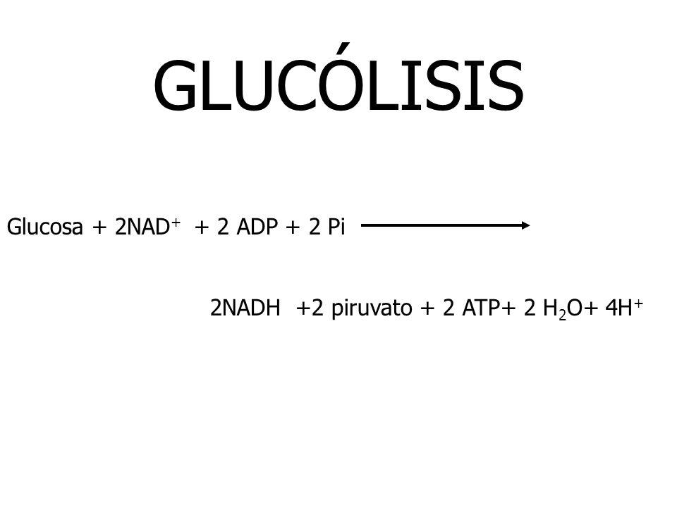 GLUCÓLISIS Glucosa + 2NAD+ + 2 ADP + 2 Pi