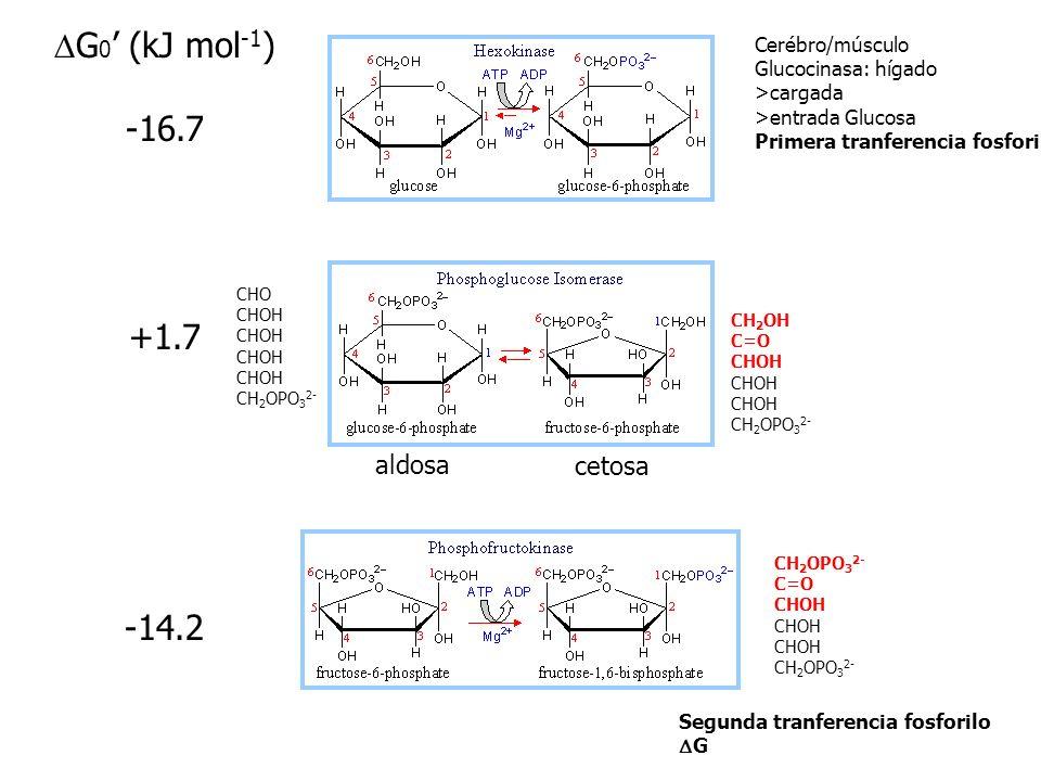 DG0' (kJ mol-1) -16.7 +1.7 -14.2 aldosa cetosa Cerébro/músculo