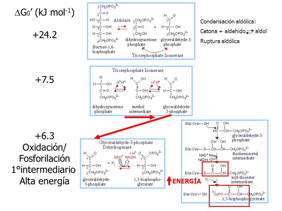DG0' (kJ mol-1) +24.2 +7.5 +6.3 Oxidación/ Fosforilación