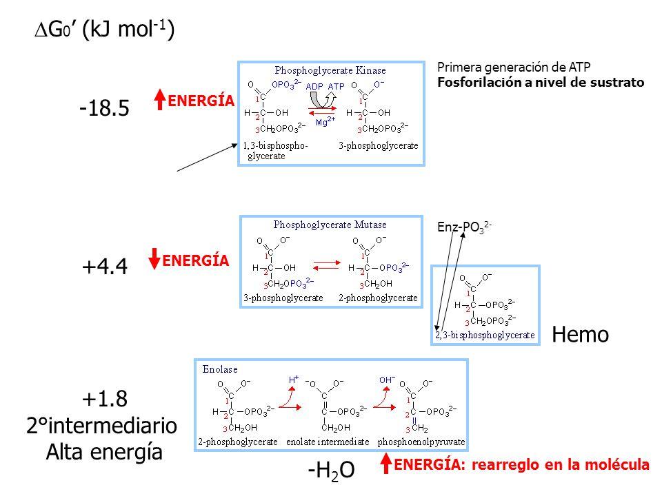 DG0' (kJ mol-1) -18.5 +4.4 +1.8 2°intermediario Alta energía Hemo -H2O