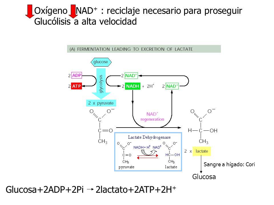 Oxígeno NAD+ : reciclaje necesario para proseguir