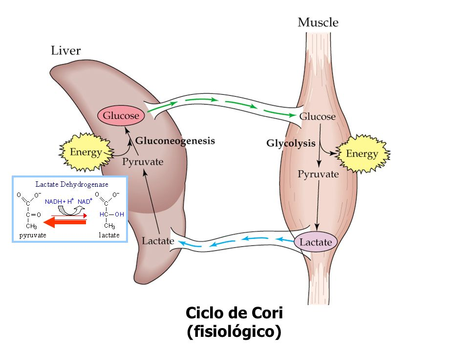 Ciclo de Cori (fisiológico)