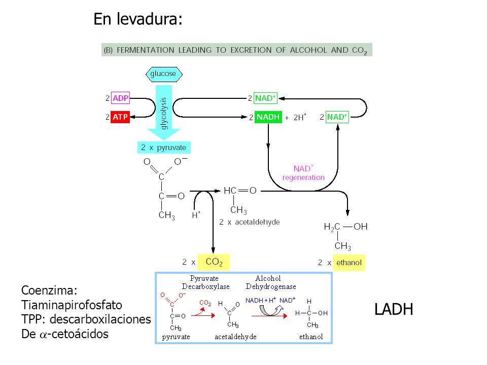 En levadura: LADH Coenzima: Tiaminapirofosfato TPP: descarboxilaciones