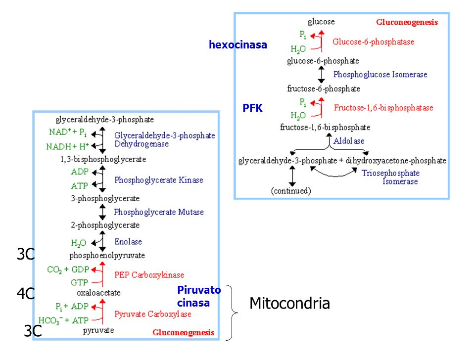 hexocinasa PFK 3C 4C Piruvato cinasa Mitocondria 3C
