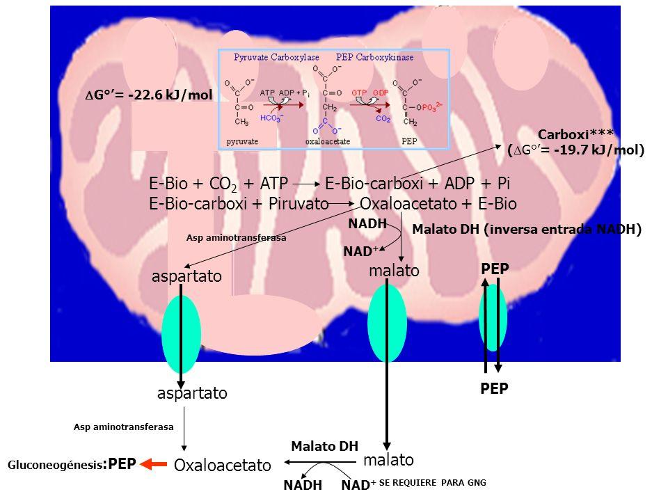E-Bio + CO2 + ATP E-Bio-carboxi + ADP + Pi