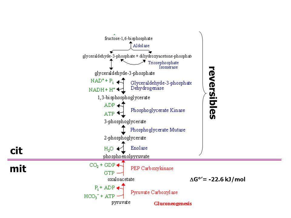 reversibles cit mit DG°'= -22.6 kJ/mol